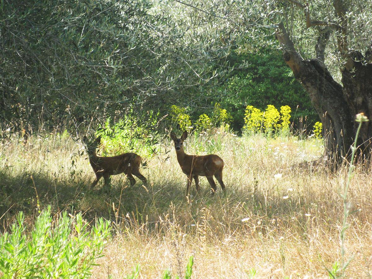 deer_tuscany